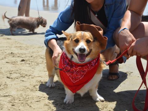 Un corgi fier de passer la journée à la plage à l'occasion du Corgi Beach Day