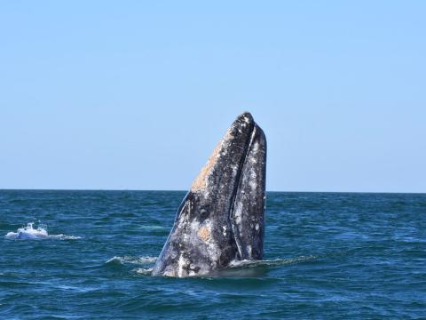 Une baleine observée au large des côtes d'Oxnard, en Californie